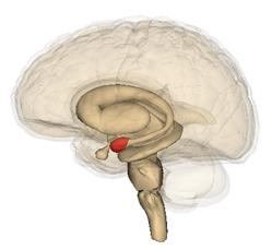 position de l'amygdale dans le cerveau humain