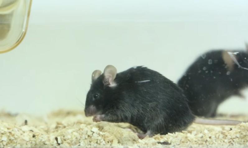 L'appétit d'une souris coupé par stimulation cérébrale